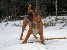 The Lovable and Comical Boxer ~ Amazing Animals