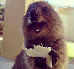 Quokka super feliz con su loncha de queso