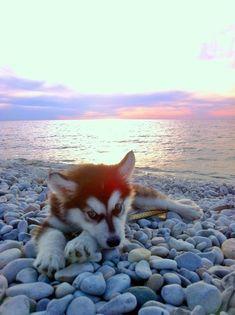 Siberian Husky puppy | Sunset Over Lake Michigan - Imgur #siberianhusky #siberianhuskypuppy