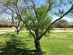 Tree | Ash | XLT Homestead