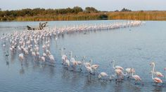 The Camargue region in southern France is a wildlife haven. See flocking flamingos in the Camargue. Eagles, Denver Travel, Haute Provence, Sainte Marie, Southern France, Visit France, Photos Voyages, White Horses, Rhone