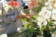 Глядя на цветущую орхидею, многие цветоводы даже не задумываются, покупать это необыкновенное растение или нет. Конечно, покупать! Вот только будет ли оно так же хорошо цвести и дома?...
