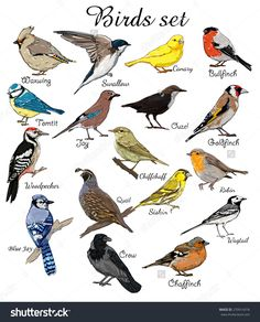 big set birds. birds flying, animals, bird silhouette, bird vector, crow, BlueJay, Canary, Woodpecker, Robin, Chiffchaff, Swallow, chaffinch, bullfinch, waxwing, titmouse, goldfinch, jay