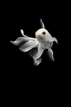 take a photograph of white goldfish Beautiful Fish, Animals Beautiful, Cute Animals, Colorful Fish, Tropical Fish, Goldfish Wallpaper, Goldfish Tattoo, Wild Animal Wallpaper, Aquarium Fish