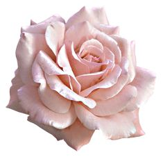 Large Light Pink Rose PNG Clipart