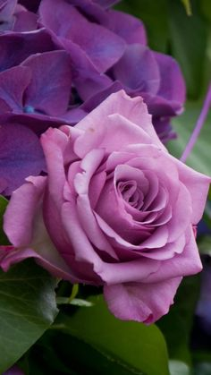 Image may contain: plant, flower and nature Beautiful Rose Flowers, Pretty Roses, Love Rose, Exotic Flowers, Beautiful Flowers, Lavender Roses, Purple Flowers, Pink Roses, Roses Only