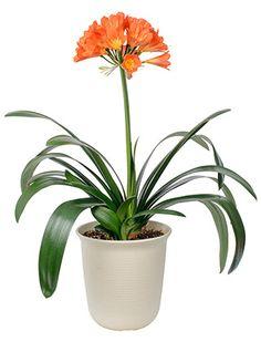 Kliivia, isopunasarja hoito. Kliivia on kaunis ja mielenkiintoinen koristekasvi. Katso hoito-ohjeet.