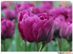 Keukenhof March 22th 2015
