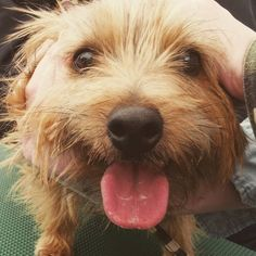 #dog #norfolkterrier #dogfeatures #pawstruck #fluffy #chien #fluffypack #hond #cachorro #tflers #ilovedogs #dogvacay #thatface #instadaily #excellent_dogs #cutedog #life #doggy #instapuppy #instapet #petbox #animallovers #terriers #dogoftheday #pets_of_instagram
