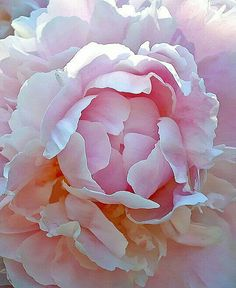 Peony in my Yard - Peony in my Yard – JPG Photos - Large Flowers, Pink Flowers, Beautiful Flowers, Peony Painting, Watercolor Flowers, My Flower, Flower Art, Arte Floral, Flowers Nature