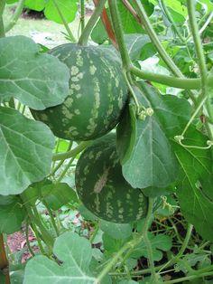 Bitter Cucumber or Desert Gourds (citrullus colocynthis)