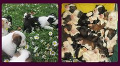 Ri Lee Kennels.....Tibetan terrier puppies...check out more pictures on the website...they are adorable!