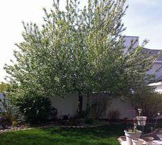 Mayday Tree  #gardening, #Utah