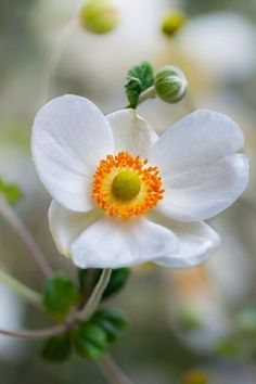 Perennials Autumn Anemones shade perennials backyard garden - Even that dark, wet corner you've neglected for years. Purple Flowering Plants, Shade Garden Plants, Summer Plants, Garden Shrubs, House Plants, Light Pink Flowers, Shade Flowers, Fresh Flowers, Best Perennials For Shade