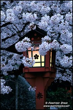 Cherry blossoms (sakura, by the way) and traditional lantern in Hirano Shrine, Kyoto @Frantisek Staud