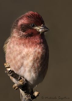 "A Purple Finch..."" . . . they neither sow nor reap nor gather into barns; yet your heavenly Father feeds them. Are you not of more value than they?"""
