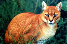 The African golden cat is about double the size of a domestic cat. It lives in the rain forests of West and Central Africa