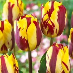 This is an incredible red and yellow flamed triumph tulip. It has a great form and stature and really stands out amidst all the other flamed rembrandt alike tulips. Planting Dahlias, Tulips Garden, Planting Bulbs, Garden Soil, Gardening, Bulb Flowers, Bright Flowers, Summer Flowers, Fondant Flower Tutorial
