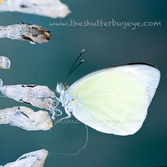 Macro Photograph Nature Photo White Butterfly by TheShutterbugEye, $30.00    I've been taking lots of butterfly photos lately.  This is my favorite recent shot.