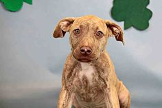 KAHLUA - ID#A525548 I am an unaltered female, brown brindle American Staffordshire Terrier mix. I weigh about 26 Lbs. The shelter staff think I am about 4 months old. Humane Society of Broward County at (954) 989-3977 Ask for information about animal ID number A525548