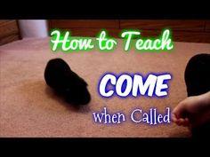 How To Teach a Guinea Pig to Come When Called - Guinea Pig Tricks