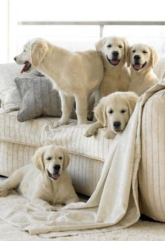 Goldens on the sofa