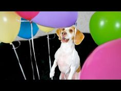 Dog Surprised with Balloons: Cute Dog Maymo - YouTube