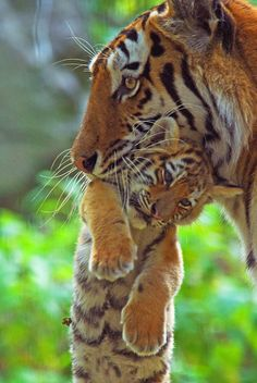Siberian tiger carrying young cub in mouth,