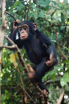Chimpanzees by safari-partners, via Flickr
