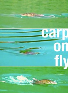 VIDEO: carp on fly (http://drowningworms.com/carp-on-poppers-video/)