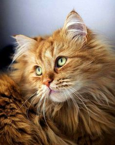 Maine Coon Temperament Find out what a Maine Coon Temperament is like compared to other breeds and if they have a friendly cat temperament or are wild like some believe. Pretty Cats, Beautiful Cats, Animals Beautiful, Cute Animals, Cute Cats And Kittens, Cool Cats, Kittens Cutest, Ragdoll Kittens, Funny Kittens