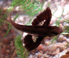 Cool Critters — Freshwater butterflyfish (Pantodon buchholzi)  The...
