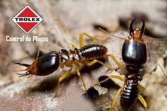 ¿Cómo saber si hay termitas en una estructura?  La siguiente lista indica signos comunes de una infestación de termitas subterráneas. Se recomienda que usted tenga una inspección profesional de control de plagas, para detectar las señales a veces sutiles de termitas.