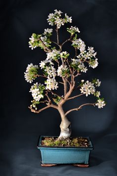 ~~Apple Tree bonsai | bonsai di melo | by Graziano Ottini~~