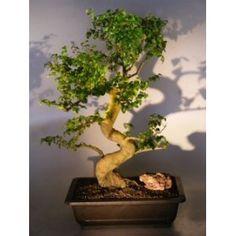 Bonsai Boy's Flowering Ligustrum Bonsai Tree ligustrum lucidum$350.00: www.amazon.com/Bonsai-Flowering-Ligustrum-ligustrum-lucidum/dp/B007J2RILQ/?tag=sure9600pneun-20