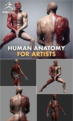 Human Anatomy for Artists Human Anatomy For Artists, Human Anatomy Drawing, Human Body Anatomy, Animation Classes, 3d Animation, Zbrush, Digital Sculpting, Blender Tutorial, Upcoming Artists