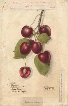Cherries (variety Lambert). Watercolor 1894.