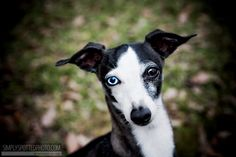 itialn grey hounds | Filed Under Dog Photography , Italian Greyhounds , Pet Photography | 2 ...
