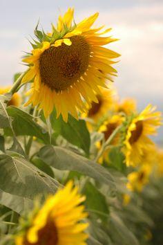 Stunning Sunflower are Just Beautiful Garden Happy Flowers, Love Flowers, Wild Flowers, Beautiful Flowers, Sun Flowers, Flower Plants, Succulent Plants, Sunflower Cards, Sunflower Fields