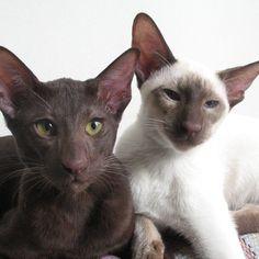 Welche Katzenrasse hat einen braunen Schnurrbart? Havana Brown Wurde erstmals der Begriff Havana Brown verwendet, um die Farbgenetik der braunen (chocolate) Katze zu beschreiben. Woher der Begriff stammt ist umstritten. Er könnte sowohl von einer Kaninchenfarbe als auch von den kubanischen Zigarren abgeleitet sein.