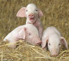 cute piggies