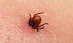 Lymská bolerióza je infekce bakterií Borrelia burgdorferi. Přenáší se hlavně klíšťaty, ale spekuluje se, že její možnými přenašeči mohou být i další druhy hmyzu jako jsou komáři či blechy