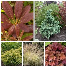 Plant Combo with Bronze, Yellow and Blue Foliage   DIY garden project => this foliage-centric plant combo comes with a planting plan (follow the link) to help you get the spacing and layout right.