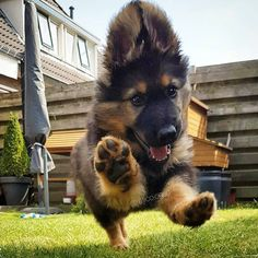 I'll take two more puppy jumps please. Happy Paw, Happy Dogs, Happy Puppy, Gsd Puppies, Cute Dogs And Puppies, Pet Dogs, Doggies, Samoyed Dogs, Maltese Puppies
