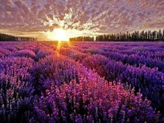 Sunset and Lavender Fields. Orange Light and Purple Lavender Flowers Are Such an Amazing Combination.