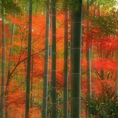 Foresta di Bambu, Kyoto, Giappone