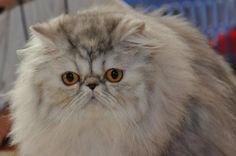 Persian beauty cat