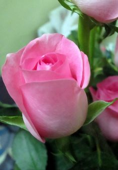 Tips on growing a healthy rose bush Beautiful Rose Flowers, Love Rose, Flowers Nature, Exotic Flowers, My Flower, Beautiful Flowers, Pink Roses, Pink Flowers, Ronsard Rose