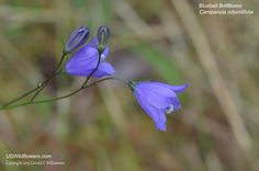 US Wildflower - Bluebell Bellflower, Bluebell, Harebell,  Bluebell-of-Scotland, Blue Rain Flower, Heathbells, Witches Thimbles -  Campanula rotundifolia