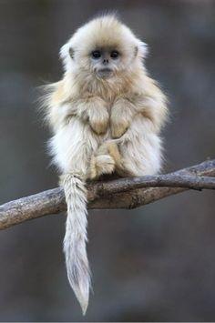 Golden Snub Nose Monkey by Cyril Ruoso.